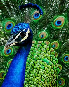 Bewitching India-Blue Male Peacock [Pavo cristatus] in the Middle of Dance Soooo beautiful!