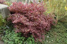 Loropetalum 'Pipa's Red'  Google Image Result for http://www.qscaping.com/Content/Images/Photos/F507-22.jpg