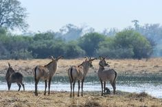 The disappearing river reappeared. Nature, the magician, bows and the crowd roars. Africa Travel, The Magicians, Wilderness, Camel, Safari, Mystery, Places To Visit, Wildlife, Southern