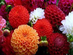 Beautiful Colorful Dahlias