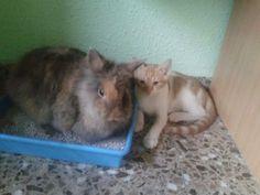 NUVOL - Gato adoptado - AsoKa el Grande
