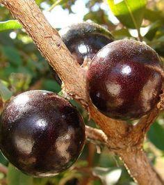 Photo : Le Jaboticaba, originaire du Brésil, est un fruit noir pourpre qui…
