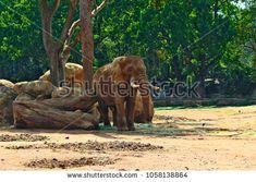 African Adult Elephant