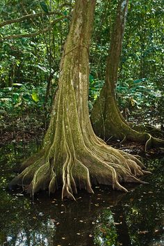 rainforest tree in Corcovado National Park, Costa Rica