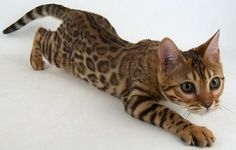 Rosetted Bengal kittens for sale in Lincolnshire / Nottinghamshire boarder, UK