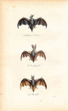 1870 Gorgeous Antique Victorian Bat Engraving by Vintage Treasure Shop - eclectic - artwork - Etsy