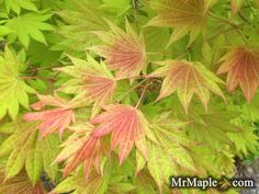 WHAT TO EVEN SAY about a nursery that offers more than 1,200 cultivars of Japanese maple, but it's true: brothers [read more…]