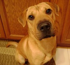Sharp-Eagle (Beagle/Chinese Shar Pei Mix)- this looks like a grown up Rip. it's beautiful :)