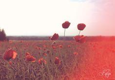 vintage poppys