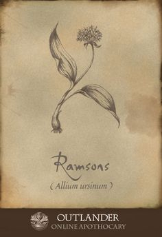 Ramsons (AKA wild garlic). Used in the 1740s to treat kidney stones and draw out pus from an infection. Also had anti-viral and anti-bacterial properties, and was used in soup. #Outlander #ApothecaryCabinet