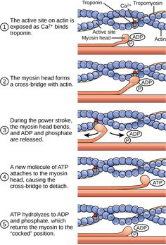 ATP is critical for muscle contractions because it breaks the myosin-actin cross-bridge, freeing the myosin for the next contraction. Read more about atp and muscle contraction in the Boundless open textbook. Biology Textbook, Musculoskeletal System, Exercise Physiology, Muscle Contraction, Muscular System, Human Anatomy And Physiology, Muscle Anatomy, Anatomy Study, Nursing Notes