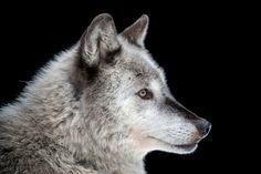 size: Photographic Print: A gray wolf, Canis lupus, at the Alaska Zoo. by Joel Sartore : Zoo Animals, Cute Baby Animals, Wild Animals, Wildlife Photography, Animal Photography, Timber Wolf, Mule Deer, Siberian Tiger, Gray Wolf