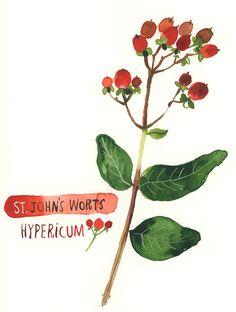 Carolyn_PP_hypericum