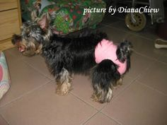 DIY doggie diaper. Little bitty dogs need diapers too. You can make one out of a sock !!