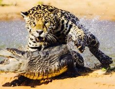 #14 - At last registering the attack, the caiman twists to the side to see its attacker just as the jaguar leaps onto the caiman's back.