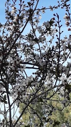Prunus Mume, Utility Pole