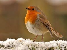 John Clare Weblog: The Robin