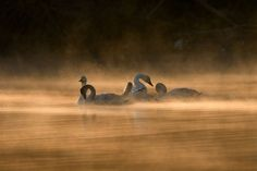Tundra Swan Family in Morning Gold by Mubi.A