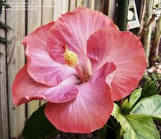 Full size picture of Tropical Hibiscus 'Daddy's Girl' (<i>Hibiscus rosa-sinensis</i>)