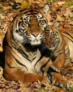 Mama Tiger & Her Baby