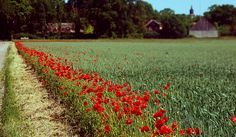 öland - I love the poppies at the edge of the field.