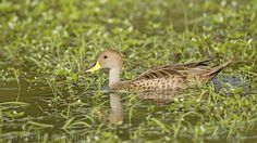 mis fotos de aves: Anas georgica Pato maicero Yellow-billed pintail