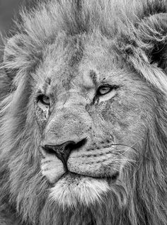 Lion King by Jacques Matthysen on 500px