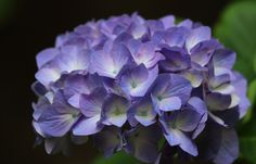 Hydrangea macrophylla [Family: Hydrangeaceae] - Flickr - Photo Sharing!