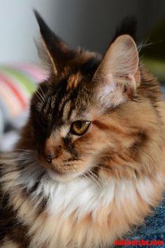 Just another maine coon kitten - http://cutecatshq.com/cats/just-another-maine-coon-kitten/