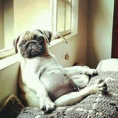 ♥♥ LOVE that pug puppy belly!!