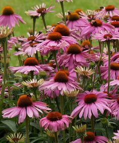 Echinacea Pururea ' Magnus' - RÖD SOLHATT (RUDBECKIA) - Upp till 100 cm hög. Fin att kombinera med malört, prydnadsgräs och daggkåpa. Sol till halvskugga, halvtorrt till torrt. Näringsrik, inte allt för tung jord. Gillar inte vinterväta, täck med löv. Planterad juli 2013.