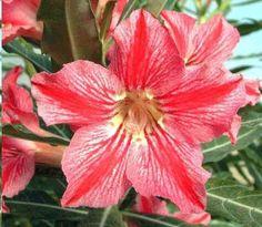 Graines Adenium (Étoile du Bonheur) See more at : http://www.rarexoticseeds.com/fr/graines-adenium/graines-rose-desert-adenium-obesum-star-of-happiness.html