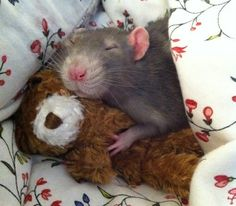 A rat curled up with it's favorite bear
