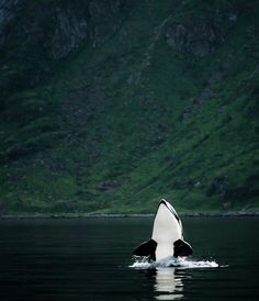 Orca whale nature sea - # - Wild at soul. Nature Animals, Animals And Pets, Cute Animals, Strange Animals, Animals Sea, Baby Animals, Funny Animals, Orcas, Beautiful Creatures