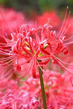 Lycoris radiata 曼珠沙華....love these...only knew them by Spider Lily...now I know better!