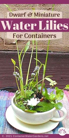 Why Use Small, Or Even Tiny Water Lilies? You might not have enough garden space, or maybe installing a pond is more of a project than you want to tackle. Perhaps you have a small water feature and thought you would like to add some sort of aquatic flowering plants to it... Water Garden Plants, Container Water Gardens, Container Plants, Small Water Features, Planting Flowers, Flowering Plants, Garden Spaces, Water Lilies, Lily