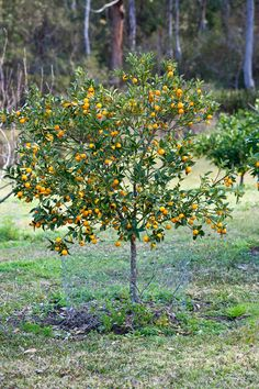 Best Backyard Citrus Care   Burkeu0027s Backyard · Citrus TreesFruits ...