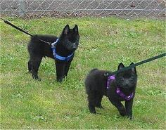 Schipperke...this is the dog I had as a child. Cindy had a few litters of puppies...cutest puppies ever.