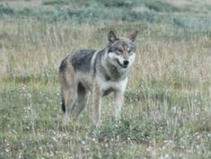 Living and Camping in Wolf Country Because wolves are widespread, thousands of people live, work and enjoy outdoor activities in wolf country. --Wolves rarely act aggressively toward people, but there have been instances in Alaska and Canada where wolves have attacked people.