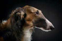 Neuigkeiten / News - Barsois - Russische Windhunde