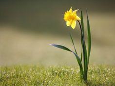 Un solitario narciso amarillo