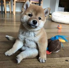 14 Pictures of Shiba Inu Proving That They Are The Best Friends Ever Super Cute Puppies, Super Cute Animals, Cute Baby Animals, Cute Dogs, Baby Puppies, Baby Dogs, Doggies, Chibi Dog, Shiba Puppy