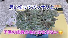 子供の成長のためにはカット✂️ - YouTube Succulent Care, Succulents, Youtube, Plants, Succulent Plants, Plant, Youtubers, Youtube Movies, Planets