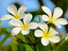 Plumeria 5x7 Big Island Hawaii Photography they were every where at the hotel