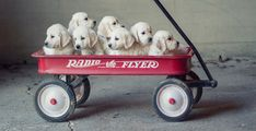 English Cream Golden Retriever Puppies... cute photoshoot picture