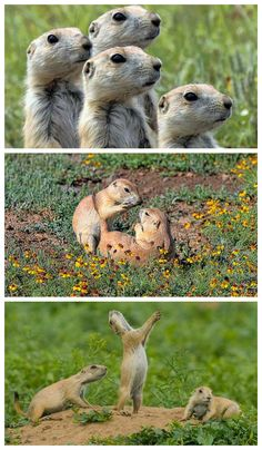 7 things you didn't know about prairie dogs #animals