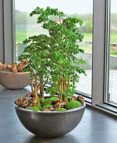 Große Zimmerpflanzen: Schale mit Fiederaralie und Mooskraut