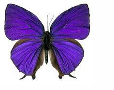 - 24 X Dark Purple Butterfly Edible Cupcake Toppers & Garden Purple Butterfly, Blue Butterfly, Purple Rain, Dark Purple, Deep Blue, Edible Cups, Edible Cupcake Toppers, Moth Caterpillar, Butterfly Wallpaper