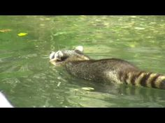 Funny racoon swimming in water and doing typical washing - Waschbär im Zoom Gelsenkirchen