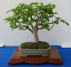 Discover an amazing art of Chinese Bonsai Ficus, Bonsai Plants, Bonsai Garden, Bonsai Trees, Miniature Trees, Flower Pots, Flowers, Art Of Living, Ikebana